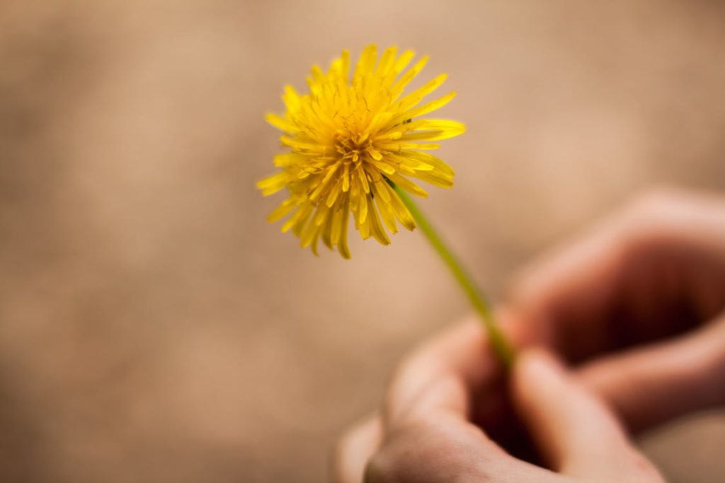 5 Things you may not know about Dandelions - Green Eyed Grace